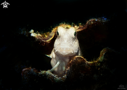 A Red-spotted Blenny