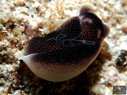 A Nudibranch Amoena