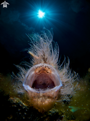 A Hairy Frogfish | Hairy Frogfish