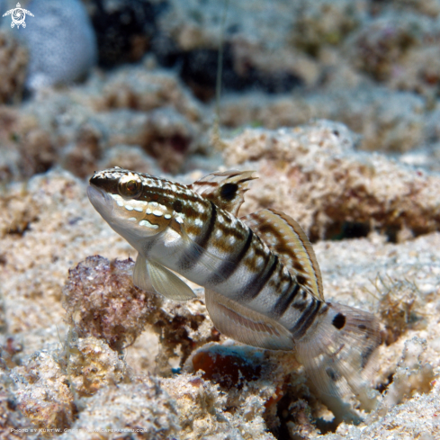A White-barred Goby