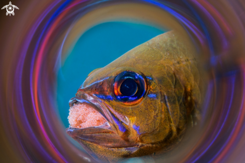 A Cardinalfish (with eggs)