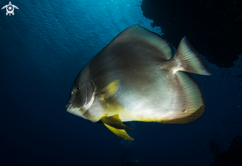 A Platax  | Bat Fish