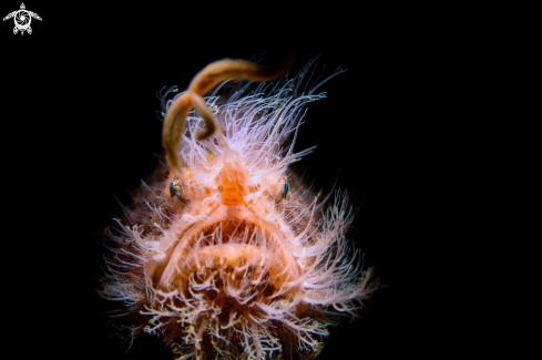A Antennarius striatus | hairy frogfish
