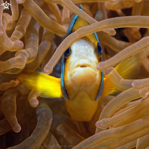 A Amphiprion latezonatus | Withe-Band Anemonefish