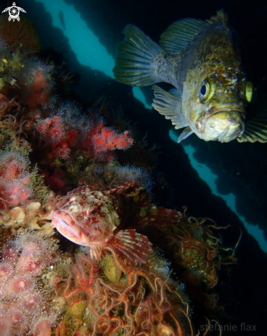 A Cabezon and kelp rockfish