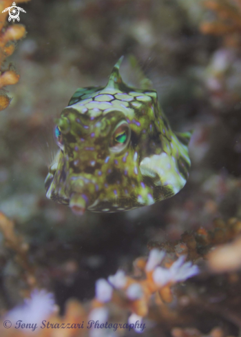 The Thorny-back cowfish