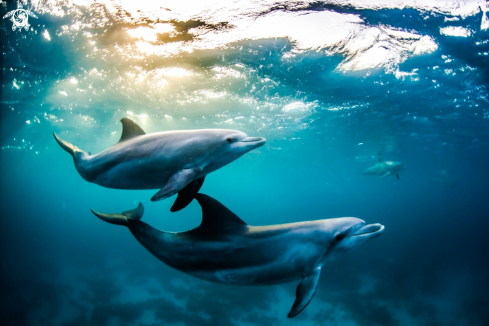 A Bottlenose dolphins