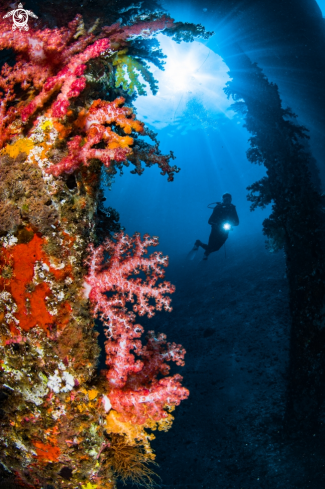 A Diver and soft corals