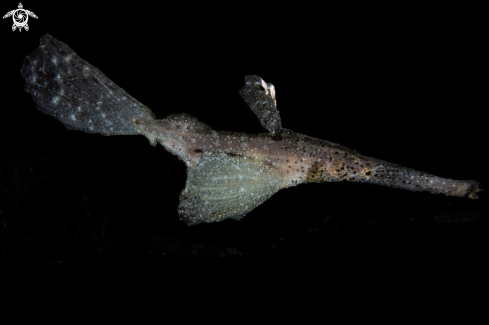 A Robust ghost pipefish