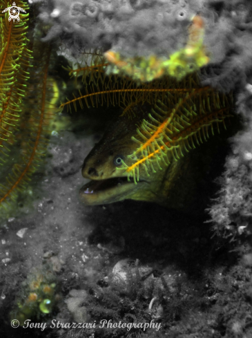 A Gymnothorax prasinus | Green Moray Eel