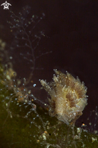 A Nudibranch  species of Baeolidia