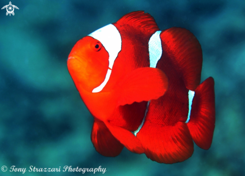 A Premnas biaculeatus | Spine-cheeked anemonefish