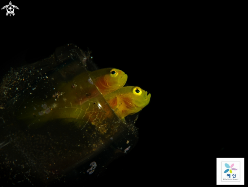 yellow pigmy goby
