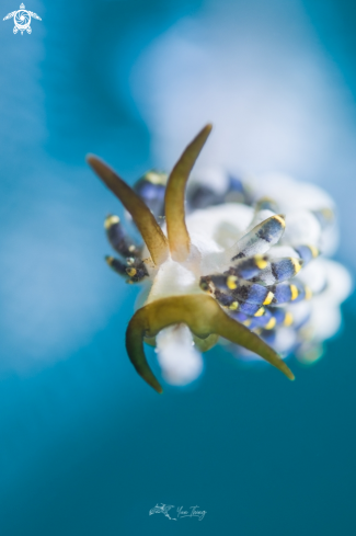 A Trinchesia sp | Nudibranch