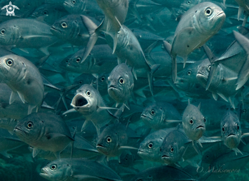 A School of Silver Jackfish