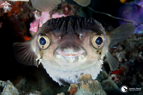 A Longspined Porcupinefish