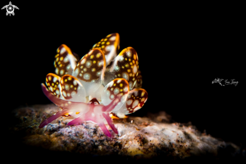 A Cyerce Kikutarobabai | Nudibranch