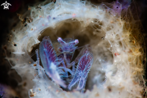 A Commensal sponge shrimp