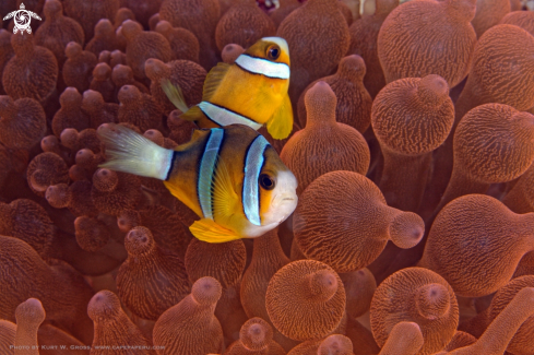 A Clown fish, Nemo