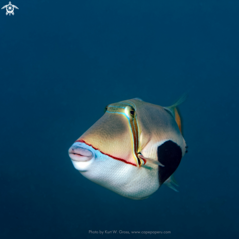A Blackpatch Triggerfish