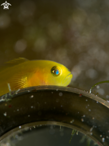 A Yellow Pygmy Goby