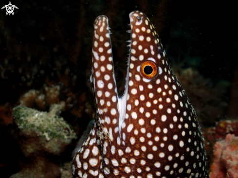 A White spotted moray eel