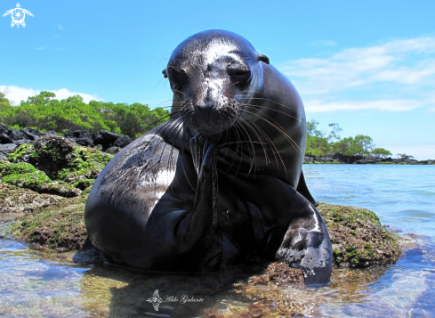 A Galápagos Sea Lion