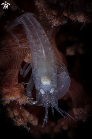 A  snapping shrimp   |  snapping shrimp
