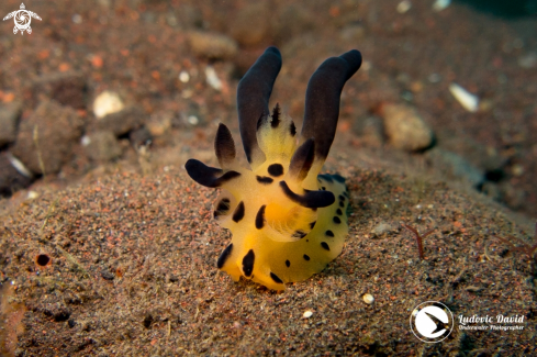 A Pikachu Nudibranch