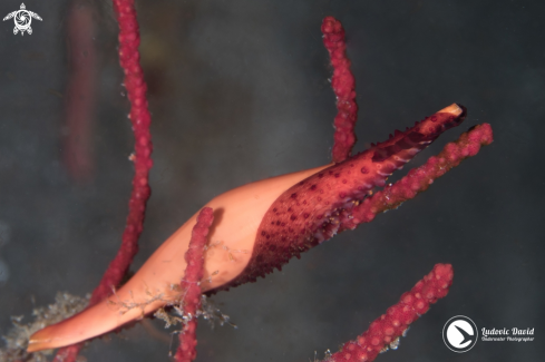 A Phenacovolva birostris | Double-snouted Spindle Cowrie