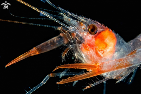 Shrimp - Enoplometopus sp.