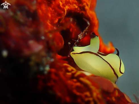 A Siphopteron brunneomarginatum | Nudibranch