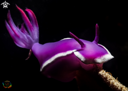 The Bullock`s hypselodoris