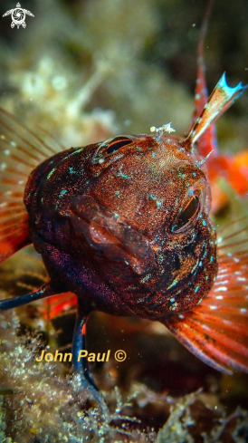The Red blackfaced blenny
