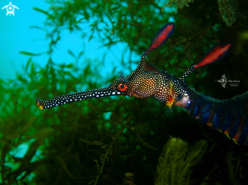 The Weedy Seadragon
