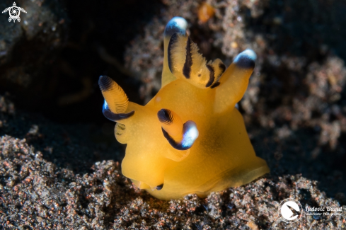 A Pacific Thecacera Nudibranch