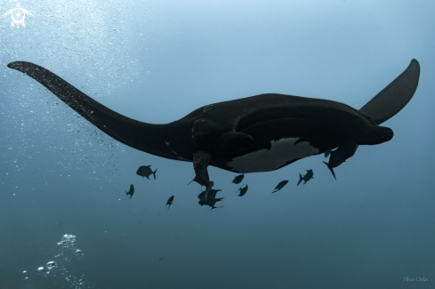A Giant Oceanic black-morph Manta