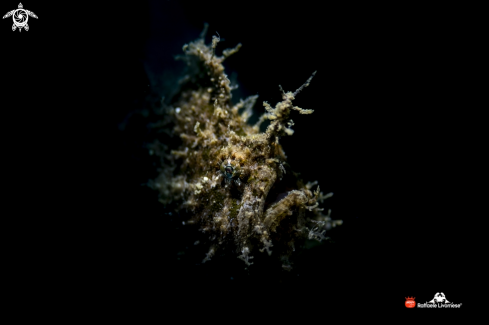 A Juvenile hairy frogfish