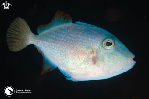 A Odonus niger (Juvenile) | Red-toothed Triggerfish