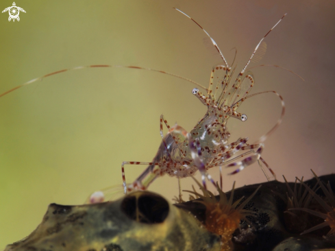 A Spotted Cleaner Shrimp