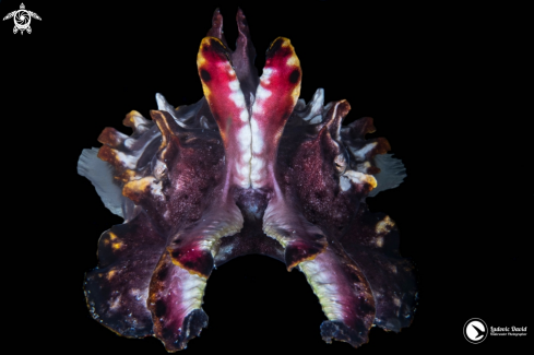 The Flamboyant Cuttlefish