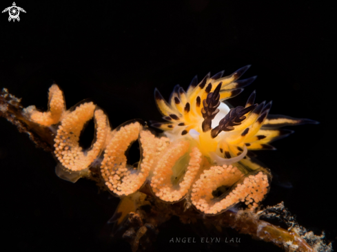 A Nudibranch eating eggs
