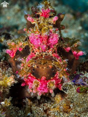A Painted Frogfish