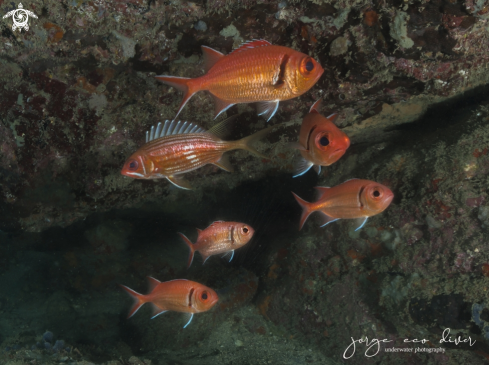 A Holocentrus rufus and Myripristis jacobus | Squirrelfish and Soldierfish
