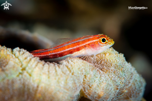A red goby