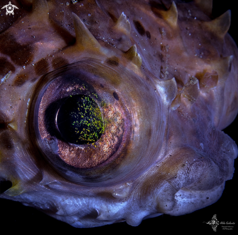The Balloonfish