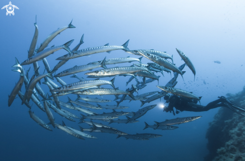 A Barracudas