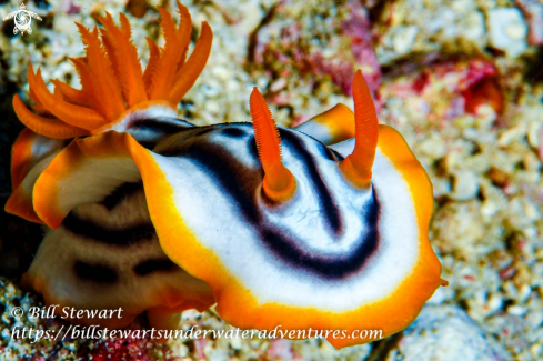 A Chromodoris strigata