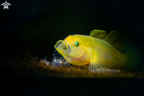 The Yellow Goby