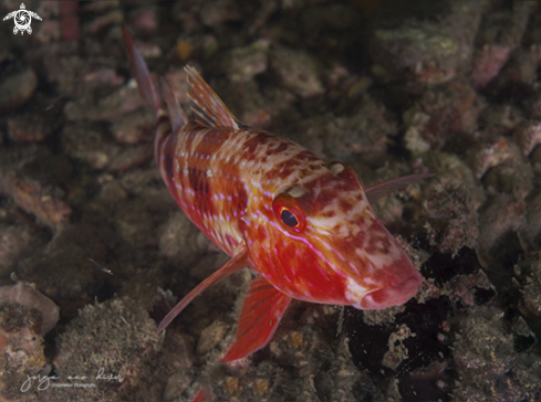 A Spotted Goatfish